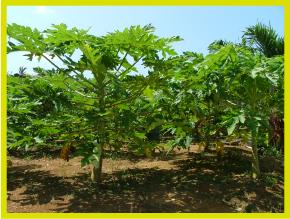 カリアンクオールは国産(沖縄県主に宮古島)のパパイヤにこだわり、カリカパパイヤの未熟果を原料としております。
