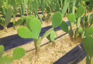 自社の圃場でサボテンを露地栽培!!